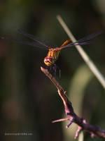 dragonfly by Zyklotrop