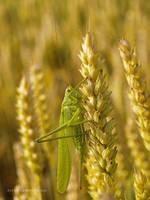 grasshopper 2 by Zyklotrop