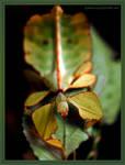 walking leaf