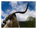 goat of goats
