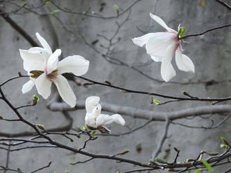 Magnolia Blossoms by NataliGagarina