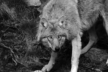 Wolf by RobinHedberg