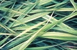 Reed by RobinHedberg
