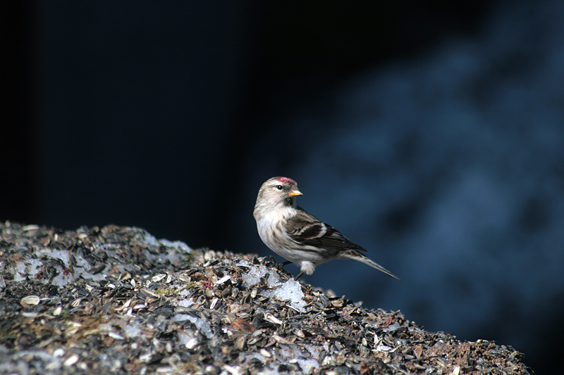 Common Redpoll by RobinHedberg