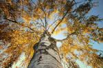Majestic birch