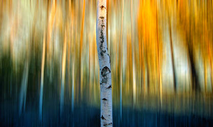 Birch by RobinHedberg