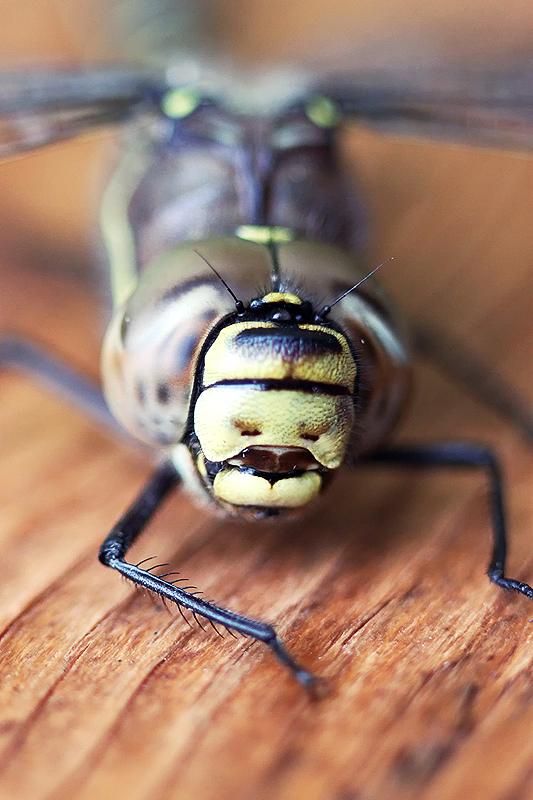 Dragonfly by RobinHedberg