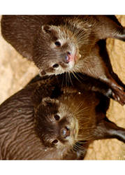 Mr. and Mrs. Otters ... by arielo