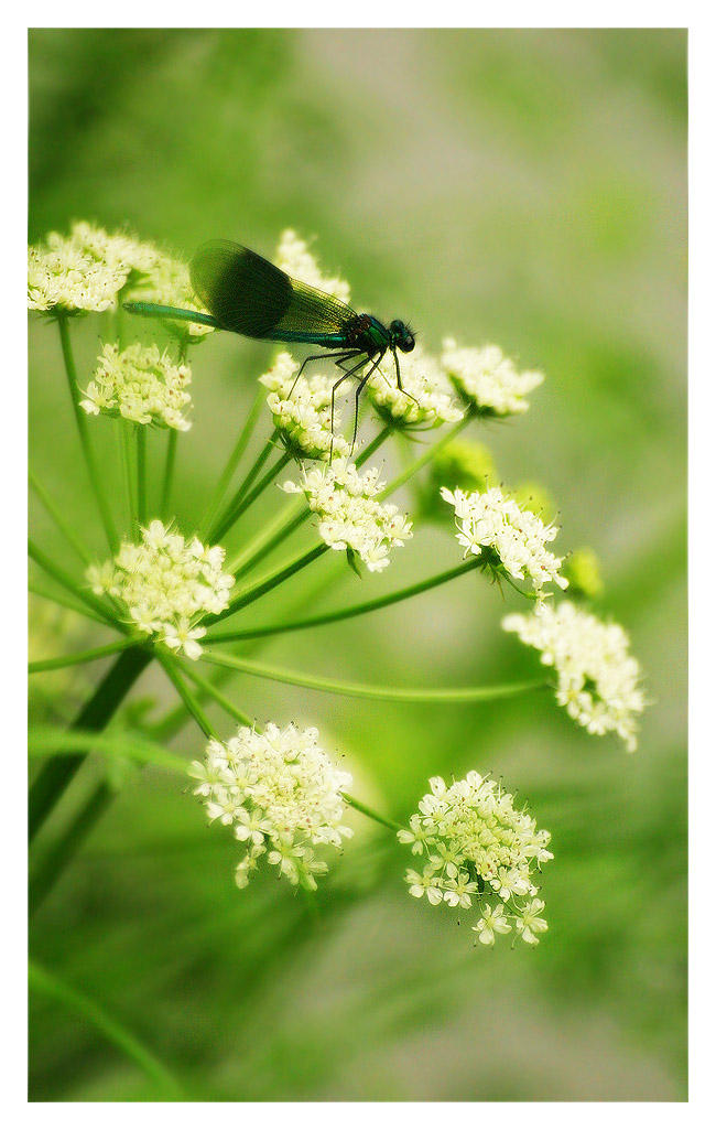 Dragonfly by alyn
