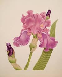Iris in Oil by MeganHess