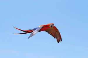 Scarlet macaw in flight II by RVeldhuyzen