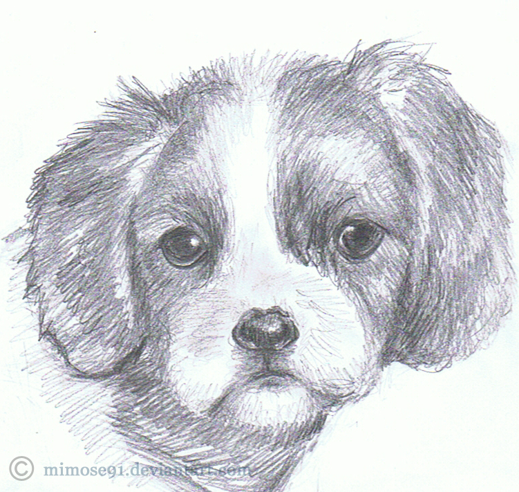Cavalier King Charles Spaniel By Mimose91 On DeviantArt