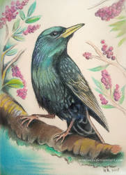 Starling by Mimose91