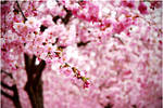 cherry blossom by noimage