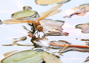 Dragonfly laying eggs by teslaextreme