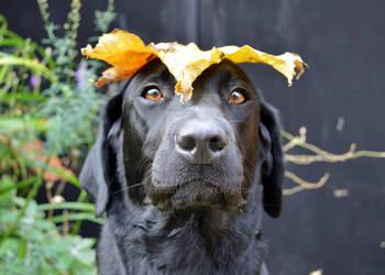Labrador Leaf Hat