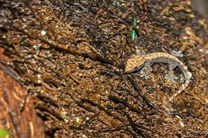 Lepidodactylus lugubris Baby by Artelanas