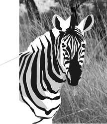 Zebra by YaBoiJRich