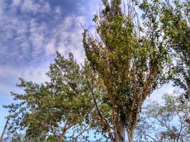 Poplars in summer