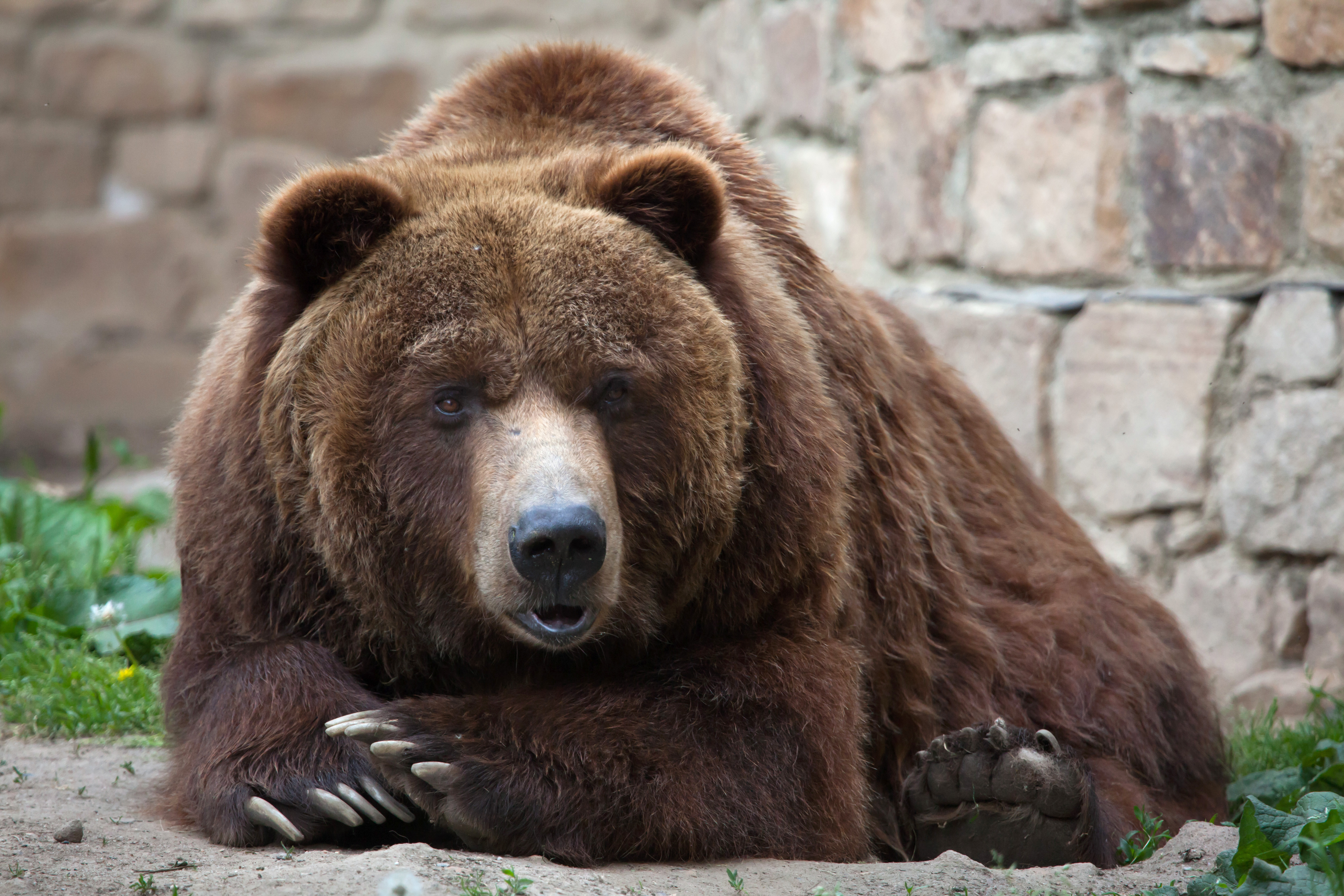 Bear grizzly 3