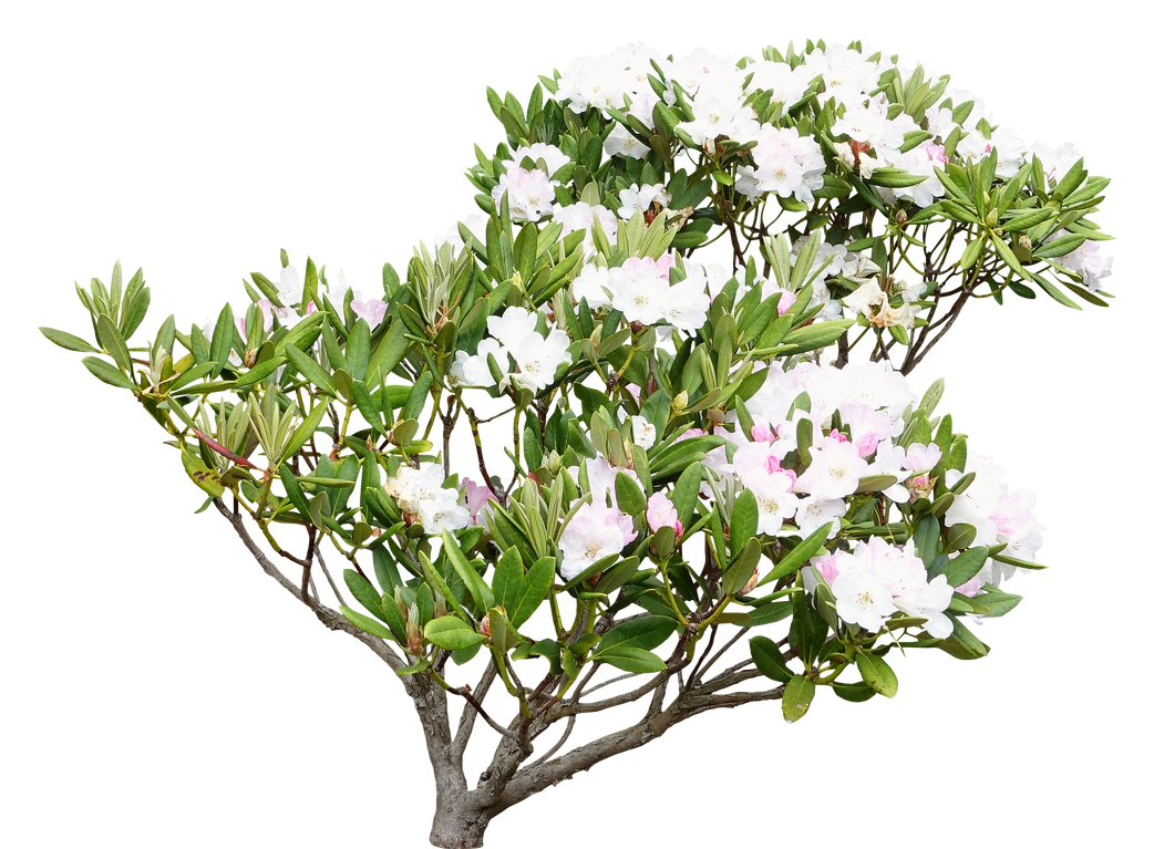 Plant Rhododendron White By Bouzid27 On Deviantart