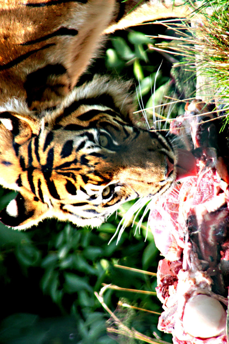 Spell of the Tiger The ManEaters of Sundarbans Sy