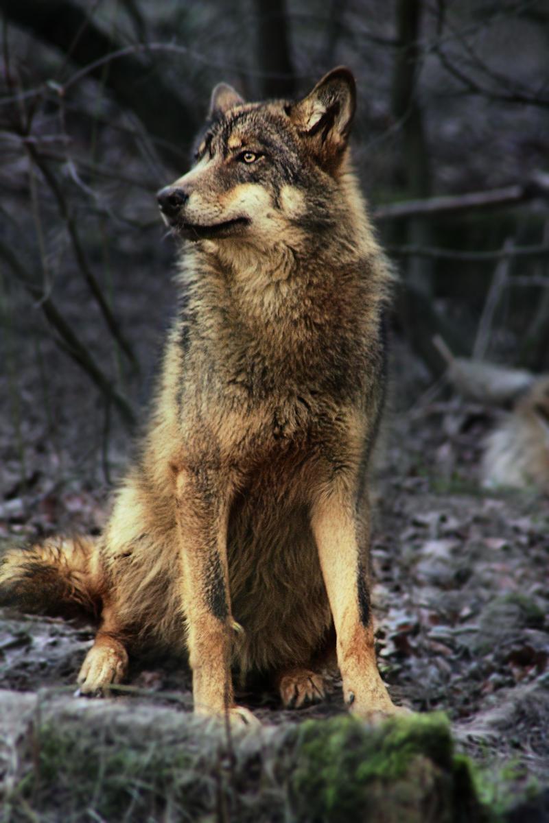 Alphess Lyli Gray_Wolf_6210_by_WhiteSpiritWolf