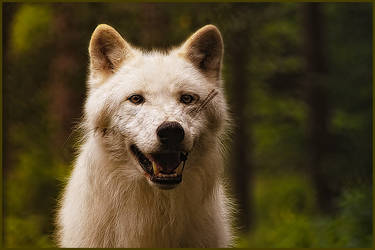 Polar Wolf: Smile Again by WhiteSpiritWolf