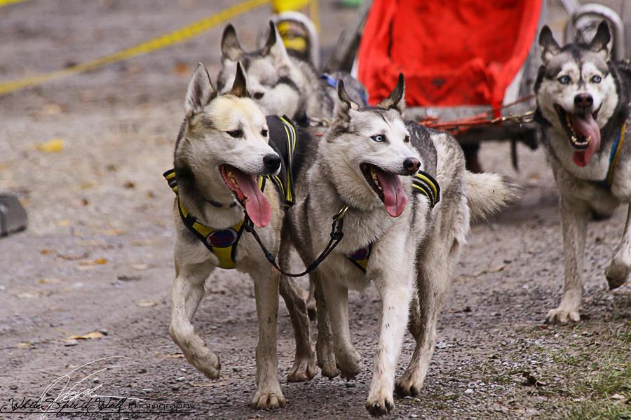 1. Senner Sled Dog Race by WhiteSpiritWolf