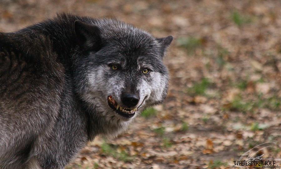 Timberwolf Size | www.pixshark.com - Images Galleries With ...