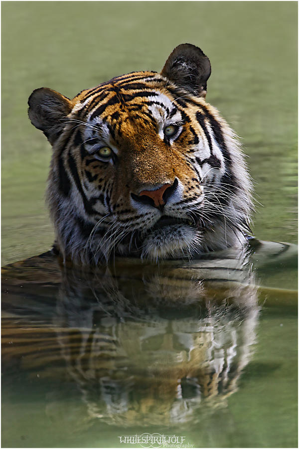 .:WaterTiger::Cooling-off:. by WhiteSpiritWolf