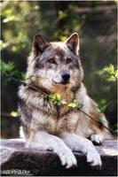 Grey Wolf.: Portrait:. by WhiteSpiritWolf