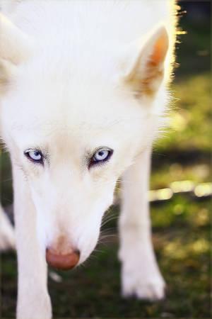 ::White Stare:: by WhiteSpiritWolf