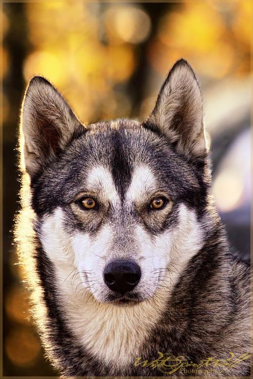 .:Wolf-like 2.0:. by WhiteSpiritWolf