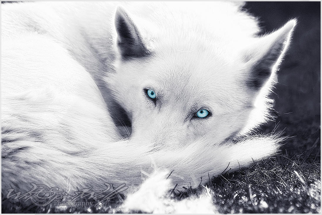 Cute white wolf pup with blue eyes - photo#8