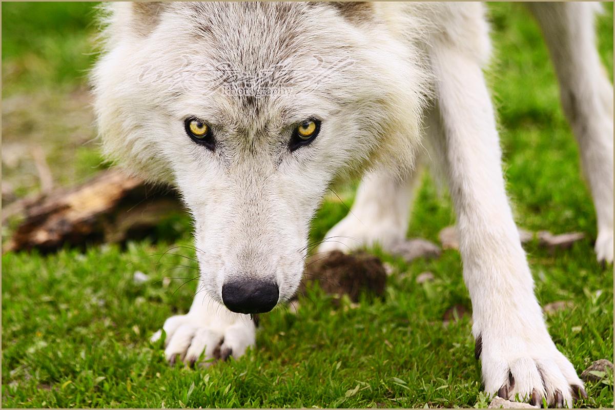 .: Eye In Eye :. by WhiteSpiritWolf