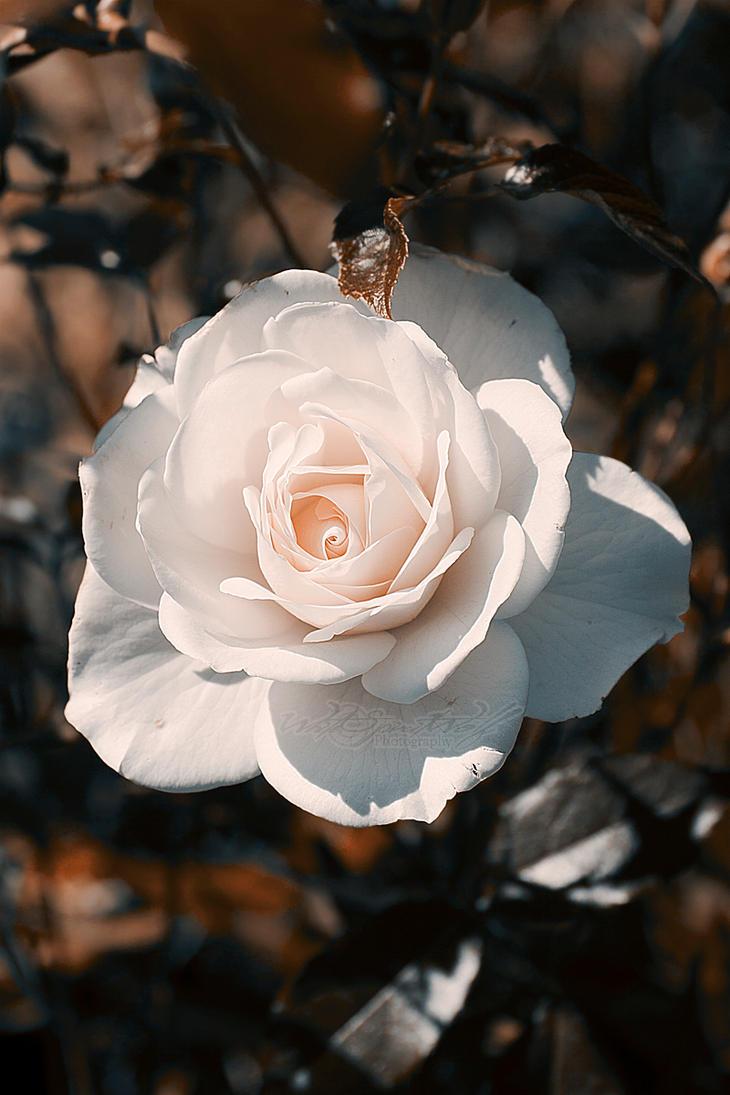.:White Rose:. by WhiteSpiritWolf