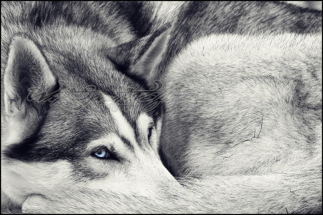 :.Blue Eyes.: by WhiteSpiritWolf