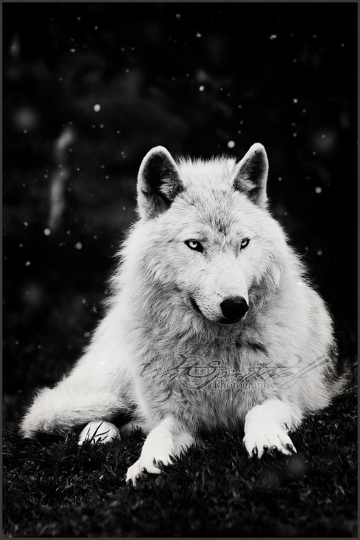 Beautiful Wolf Photography
