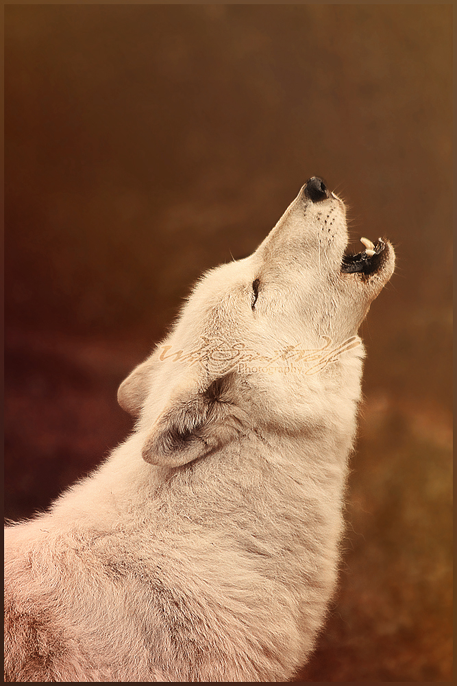 .: Howling :. by WhiteSpiritWolf