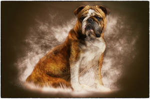 Murphy .:. the english bulldog