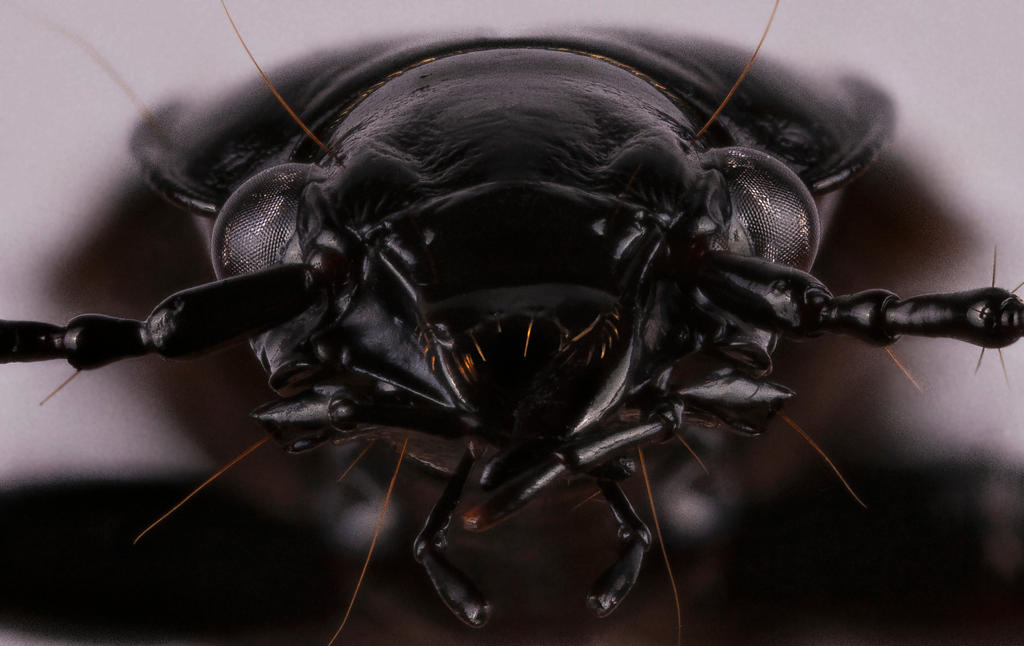Common Ground Beetle 2 by mant01