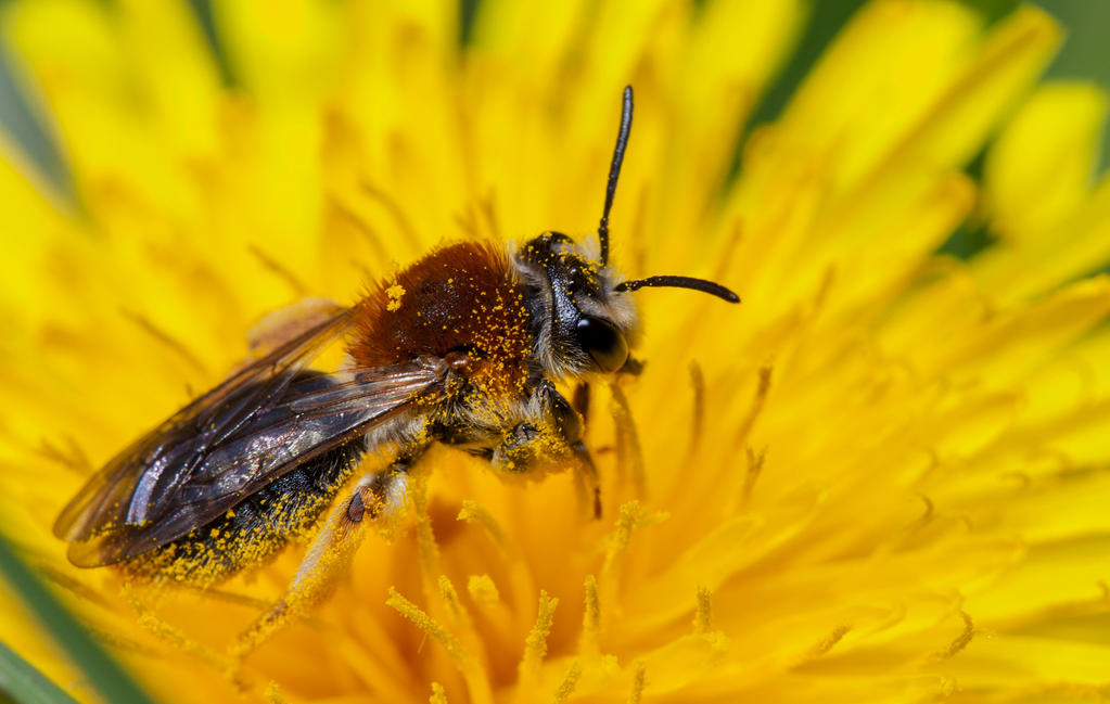 Solitary Bee 3 by mant01