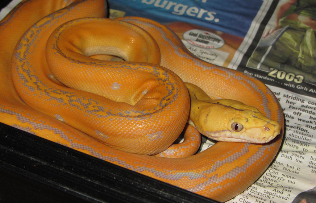 Purple Albino Golden Child Reticulated Python by mant01