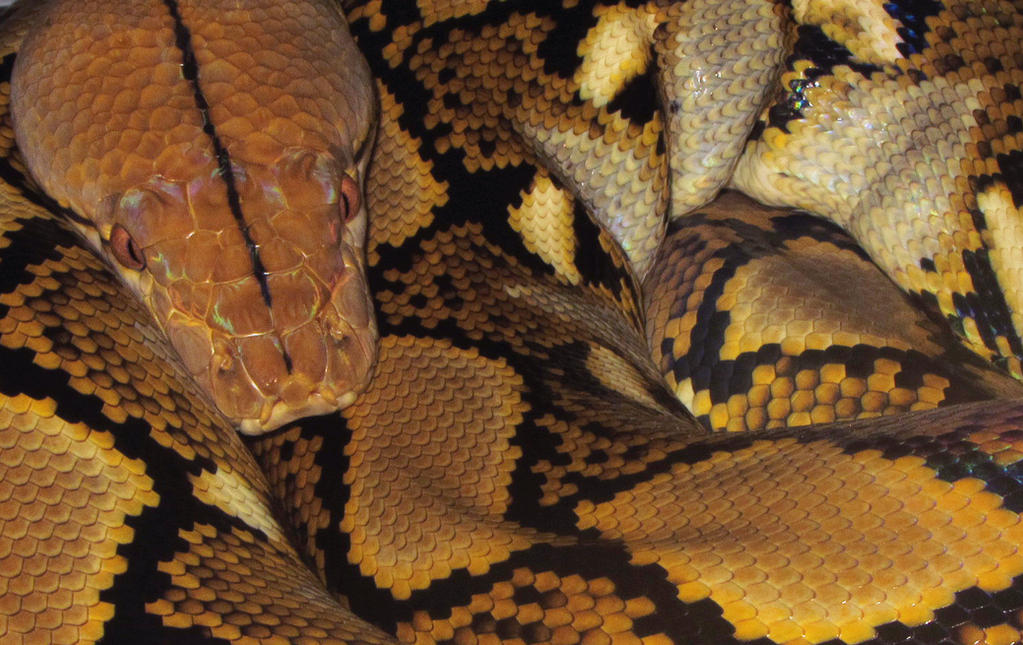Reticulated Python by mant01