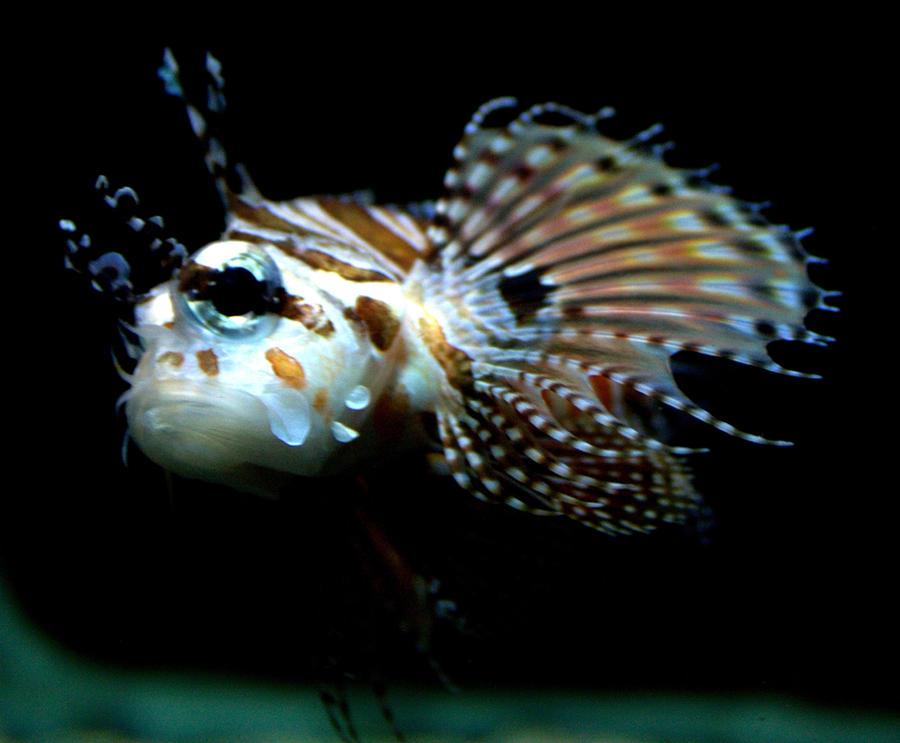 Dragon Fish From Walma...