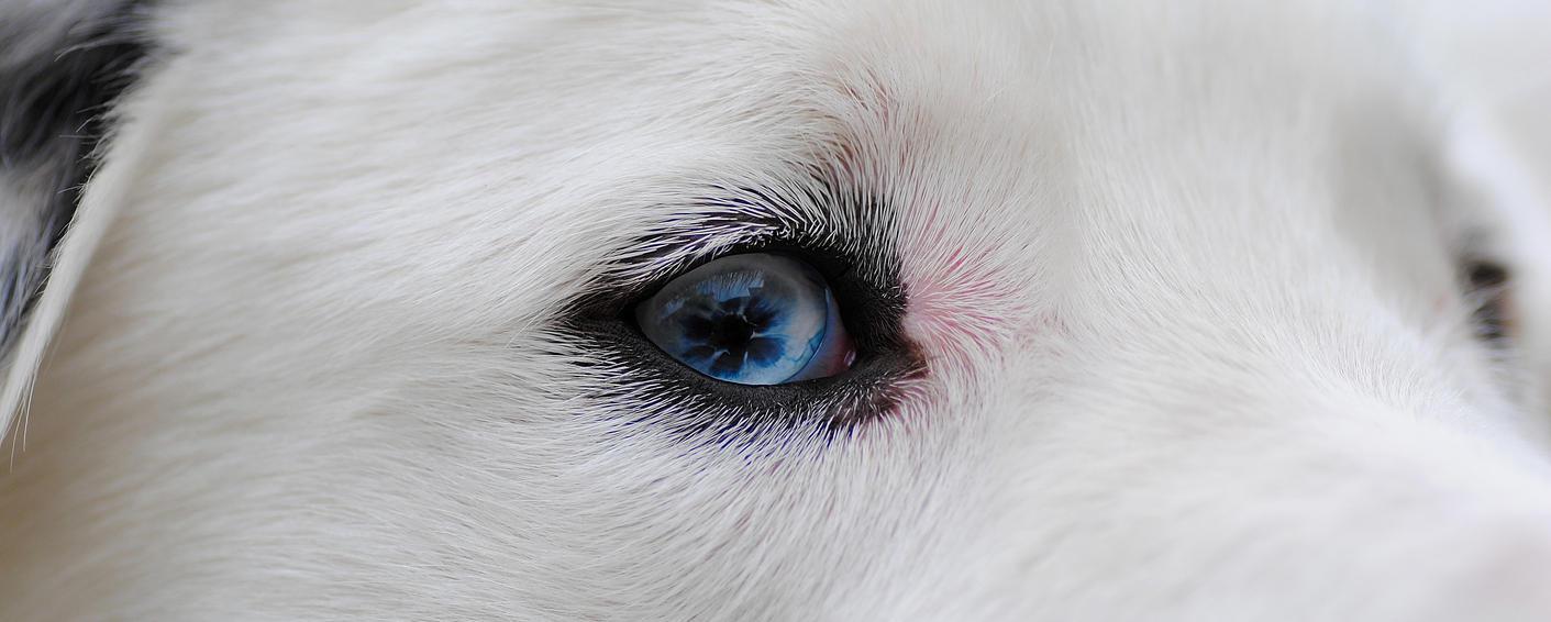 Henry - blue eye by GoldenBabe