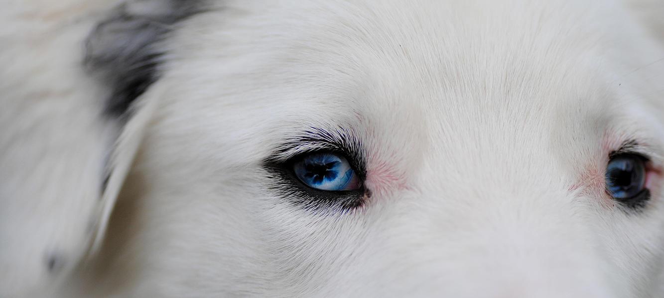 Henry - blue eye 2 by GoldenBabe