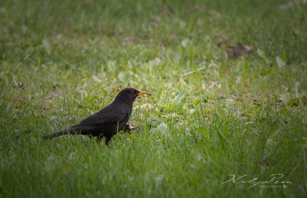 Blackbird by nuffy00