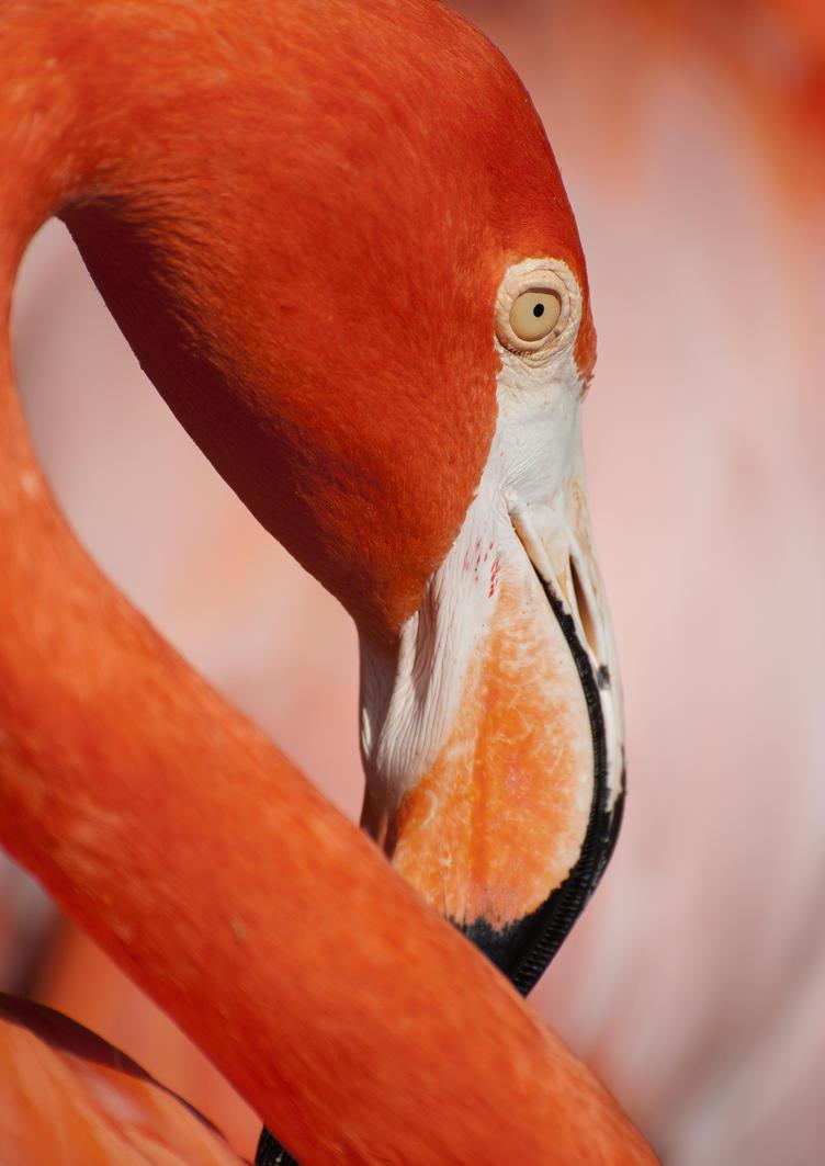 Red Flamingo by alfaromeogirl
